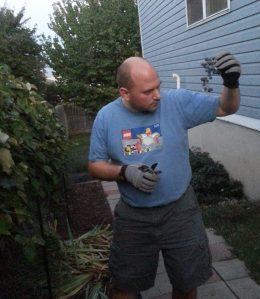 Harvesting Grapes, Finding Spider Egg Sacs